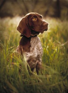 German Shorthaired Pointer Pup - Rick Meoli | RepHeads