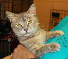 Meet Maybe, a Petfinder adoptable Domestic Short Hair Cat | Enterprise, AL | Maybe is a beautiful Silver Tabby. She is 2-3 years old and has such a sweet disposition!Behavior...