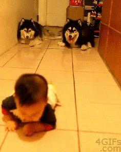 Husky Dogs Imitating A Crawling Baby»