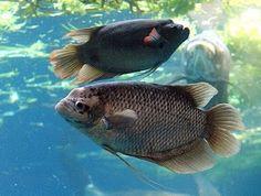 Ampuh,Ikan Hampala,Ikan Palung,Macam-macam Teknik Mancing