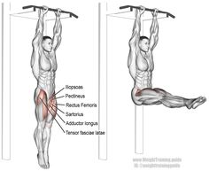 Hanging straight leg raise. An isolation and pull exercise. Visit site to learn why this exercise does NOT target your abs. Target muscles: Iliopsoas (Hip Flexors). Synergistic muscles: Tensor Fasciae Latae, Sartorius, Pectineus, Rectus Femoris, Adductor Longus, and Adductor Brevis. Stabilizers (not highlighted): Rectus Abdominis, Obliques, and Quadriceps.