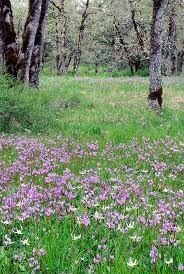 Broad-leaved shooting stars (Dodecatheon hendersonii) and white fawn lilies (Erythronium oregonum) from the Cowichan Garry Oak Preserve, Vancouver Island, BC. by Tim Ennis Landscape Materials, Romantic Shabby Chic, Shabby Chic Farmhouse, Shooting Stars, Vancouver Island, Native Plants, Lilies, Wildflowers, British Columbia