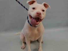 SAFE!!!  SNOWEY - A1081293 - Manhattan - Rescue Only Please Share: TO BE DESTROYED 07/20/16 **NEEDS A NEW HOPE RESCUE TO PULL** Picture this; you live your life knowing only one home, one owner, and one family. Suddenly, life changes and you have no home, no owner, no family, no one to love or be loved. This is the story of Snowey. Snowey was surrendered due to her owner being sick and having nowhere else to go. Basically Snowey's life has been turned upside down. And she is not deal
