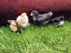 Living with Chickens | Urban Fringe Living