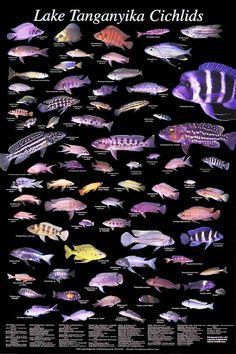Lake Tanganyika Cichlids | Poseidon's Realm African Cichlids
