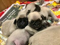 Pups In County Londonderry Dogs Puppies For Sale Gumtree Dogs For Sale In Derry Donedeal A Breed Apart 1 522 Photos P In 2020 Puppies For Sale Puppies Service Animal