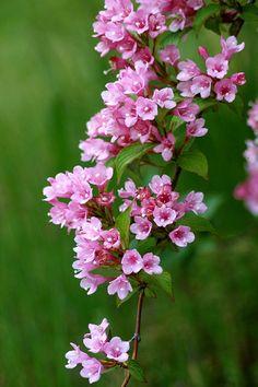 Weigela Hortensis.--so pretty