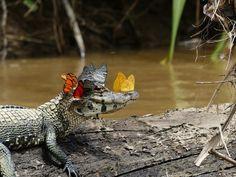 Tak, aligator nosi koronę z motylków. Takich scen z życia zwierząt jeszcze nie widzieliśmy