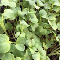 Need a kick? Try our new radish #microgreens! #urbanfarming by familypowerfarm