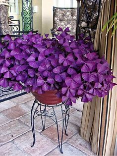 """The #Oxalis Purple Clover (#PurpleShamrock) also known as 'false shamrock', has exquisite heart-shaped leaves and is easy to grow and take care of. It requires bright or direct sunlight supplemented with a cool indoor temperature of ~60 degrees Fahrenheit. It can tolerate higher indoor temperatures but will go into dormancy prematurely and/or begin to take on a """"tired"""" appearance if temperatures go above 80 degrees Fahrenheit. May be hazardous to pets."""