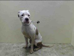 URGENT - Brooklyn Center    STARSKIE - A0995699   FEMALE, WHITE / TAN, PIT BULL MIX, 10 mos  STRAY - EVALUATE, NO HOLD Reason STRAY  Intake condition NONE Intake Date 04/04/2014, From NY 11435, DueOut Date 04/07/2014, I came in with Group/Litter #K14-172831.  https://www.facebook.com/Urgentdeathrowdogs/photos_stream