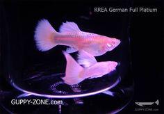 RREA GERMAN FULL PLATIUM - See more nice guppies  - www.Guppy-Zone.com