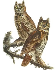Sample OWLS from 120 Audubon Bird Prints CD-ROM and Book By: John James Audubon -  Welcome to Dover Publications