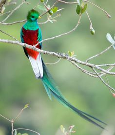 """The spectacular Resplendent quetzal is Guatemala's national bird, and an image of it is on the flag and coat of arms of Guatemala. It is also the name of the local currency.  The resplendent quetzal was considered divine, associated with the """"snake god"""", Quetzalcoatl by Pre-Columbian Mesoamerican civilizations. Its iridescent green tail feathers, symbols for spring plant growth, were venerated by the ancient Aztecs and Maya, who viewed the quetzal as the """"god of the ai"""