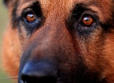 Just look into these eyes... #GSD