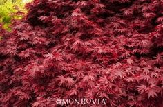 Acer palmatum 'Shaina' A new Japanese maple selection displaying a dwarf, compact form. Bright red new foliage matures to deep maroon-red. Dwarf Japanese Maple, Dwarf Plants, Monrovia Plants, Plant Catalogs, Acer Palmatum, Purple Garden, Landscaping Plants, Garden Shrubs, Landscaping Ideas