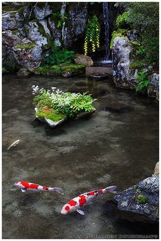 Koi meditation (Jikkou-in 実光院) |