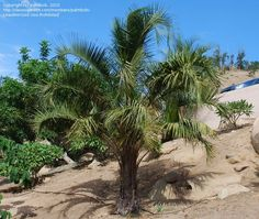 PlantFiles Pictures: Mule Palm (X Butiagrus nabonnandii) by palmbob