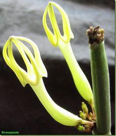 Ceropegia dichotoma   famiglia delle Asclepiadaceae