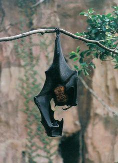 Fruit Batby *SpunkOnAStick || fruit bat display at Disney's Animal Kingdom in Florida, USA.