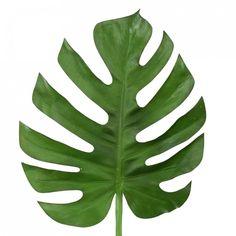 monstera-leaf-75cm.jpg (1000×1000)