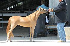 "Vanity Grove Farms Ruby Prima Donna  2010 Model AMHR Mare 35""  Futurity Nominated   For Sale   Sire:  McCarthys Hershey Swirl  Dam: Amore' La Kekee"