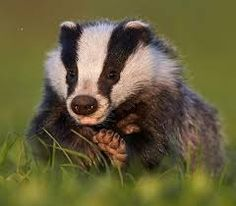 Image result for badgers