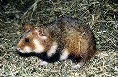 křeček polní - též křeček obecný, evropský druh křečka