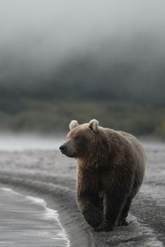Bear - in a fog Our Beautiful World