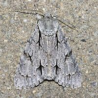 Acronicta psi commonly know as the grey dagger