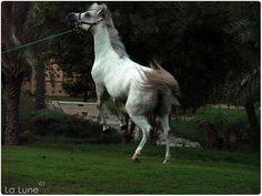 Spirited Arabian