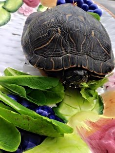 """Marjorie Gillmeister: Even """"Happy Feet"""" the Red Ear Slider Turtle loves Botanical Interests Organic Non Gmo Romaine Lettuce from our garden! We rescued him from the middle of the country road... Bathed him, nurtured him with love & fed him a nice meal! He is now back in the wild as a resident on our ranch in the pond."""