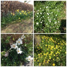 Varmen og solen har givet fuld flor til vores skønne forårsblomster  - påskeliljer - hvide anemoner - pinseliljer - vorterod. Foto 6. maj