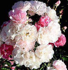 Bouquet of Roses Marcia L Jones
