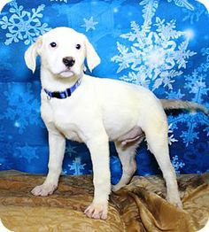 Grandmaster Flash needs a home! Westminster, CO - Catahoula Leopard Dog/Retriever (Unknown Type) Mix. Meet Grandmaster Flash a Puppy for Adoption.