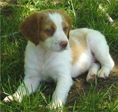 Brittany Puppies, Brittany Breeders