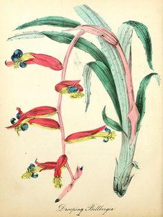 Drooping Billbergia,The American Flora, 1855