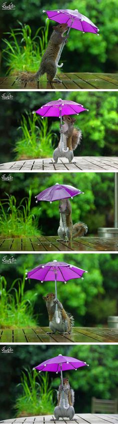 A squirrel taking shelter under a mini umbrella is the latest addition to London photographer Max Ellis' portfolio. He's succeeded posing squirrels with objects before, including pumpkins, but getting one to pose in the rain was difficult. Ellis' solution? Coating the umbrella in sunflower seeds and peanut butter before hanging it on fishing line.