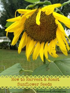 Instructions for how to harvest sunflower seeds and directions for roasting sunflower seeds.