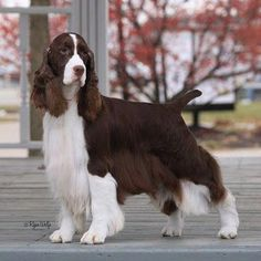 Show Bred English Springer Spaniel: We like our little English Cocker to be groomed/trimmed like a Springer Spaniel instead of a Cocker, so I saved these to show her groomer. Springer Spaniel Puppies, English Cocker Spaniel, Spaniel Dog, Clumber Spaniel, Spaniel Breeds, Dog Breeds, Field Spaniel, Sweet Dogs, Dog Grooming Business