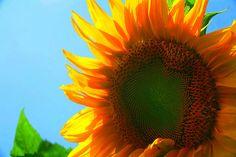 sunflower by william dalton on flickr