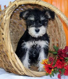 Miniature Schnauzers.....aww this little mini is just so adorable**