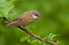 Vogel foto: Sylvia curruca / Braamsluiper / Lesser Whitethroat