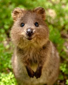 Perth's Quality Resort Sorrento Beach is the best beach resort accommodation Hillarys Boat Harbour has to offer. Cute Creatures, Beautiful Creatures, Animals Beautiful, Cute Little Animals, Cute Funny Animals, Happy Animals, Animals And Pets, Quokka Animal, Baby Animals Pictures