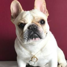 Meet Manny - the most fashonable french bulldog! Check out her blog at www.radarjewelry.com  .  .  .  .  .  .  .  .  .  .  .  #ontheradar #sunday #jewelry #accessories #gold #silver #jewellery #necklace #fashion #blogger #frenchie #frenchbulldog #style #boho #stylegram #inspo #dog #weekend #igdaily #instagood #stylegram #wiwt #ootd #fashiondiaries #...
