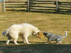 Great Pyrenees vs Australian Cattle Dog