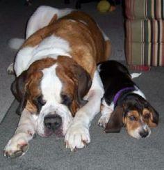 this my dream- a st bernard and a basset hound
