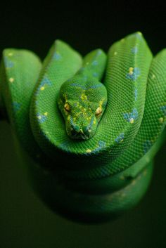Green Tree Python by Holly Fretwell Pretty Snakes, Cool Snakes, Beautiful Snakes, Green Animals, Nature Animals, Animals And Pets, Cute Animals, Wild Animals, Les Reptiles