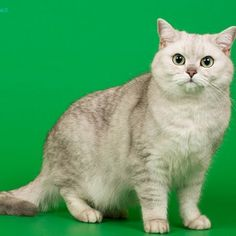 My British shorthair silver shaded cat Aira, please like her on Facebook https://www.facebook.com/pages/Aira-%C5%BDemynaLT/109007405787806