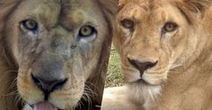 CHECK THIS OUT: After years of horrific abuse, there is finally a chance to get these lions to safety! The Lion Sleeps Tonight, Animal Rescue Site, Mountain Lion, Pumas, Animal Welfare, Big Cats, Animal Shelter, Animals And Pets, Lions